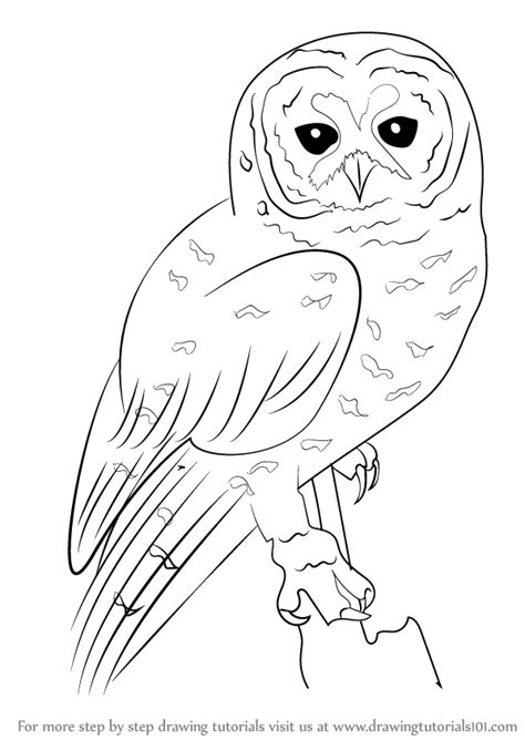 Step by Step How to Draw a Spotted Owl