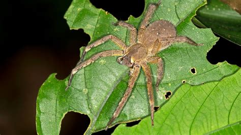 Deadly Spider With Venom That Can Also Cause Painful
