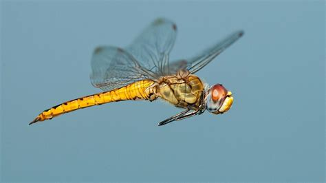 Tiny dragonfly shatters insect migration record | Science
