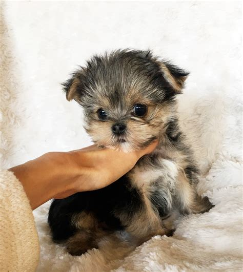 Teacup Morkie Puppy for sale - California! | iHeartTeacups