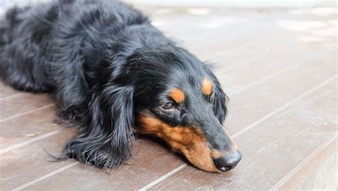 Polycythemia In Dogs: Symptoms, Causes, & Treatments - Dogtime
