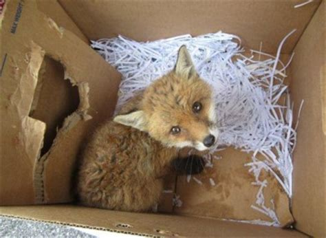 Public warned not to keep fox cubs as pets · TheJournal