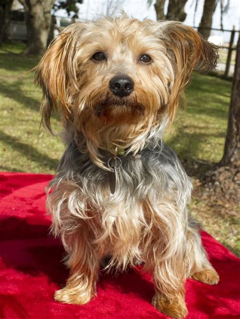 Chewy !! Handsome little yorkie mix boy-S' Web Page